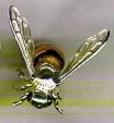 Пчела с эмалью большая ST289-1.