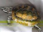 Большая черепаха из серебра ST320